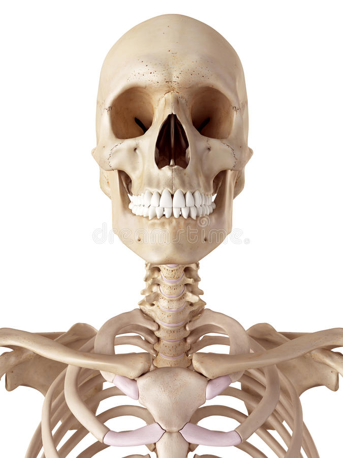 El Cráneo Y El Cuello Humanos Stock de ilustración - Ilustración de ...