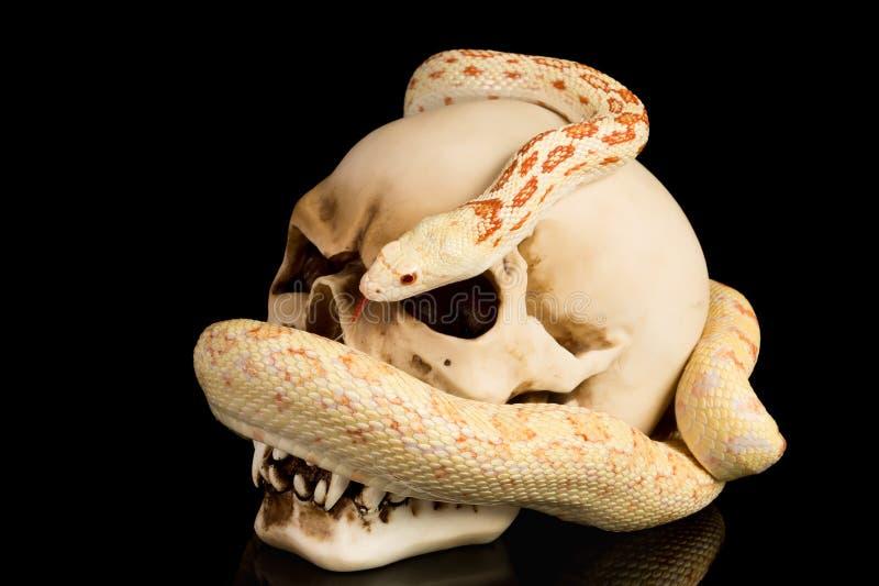 El cráneo y la serpiente en haloween fotografía de archivo libre de regalías