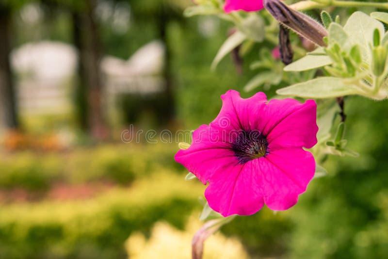 El crecer de flores de la petunia en el jardín en la frescura local del centro turístico en la estación de lluvias imágenes de archivo libres de regalías