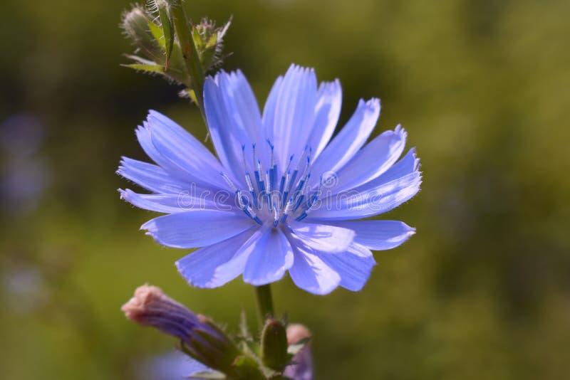 El crecimiento de flor de la achicoria imagenes de archivo