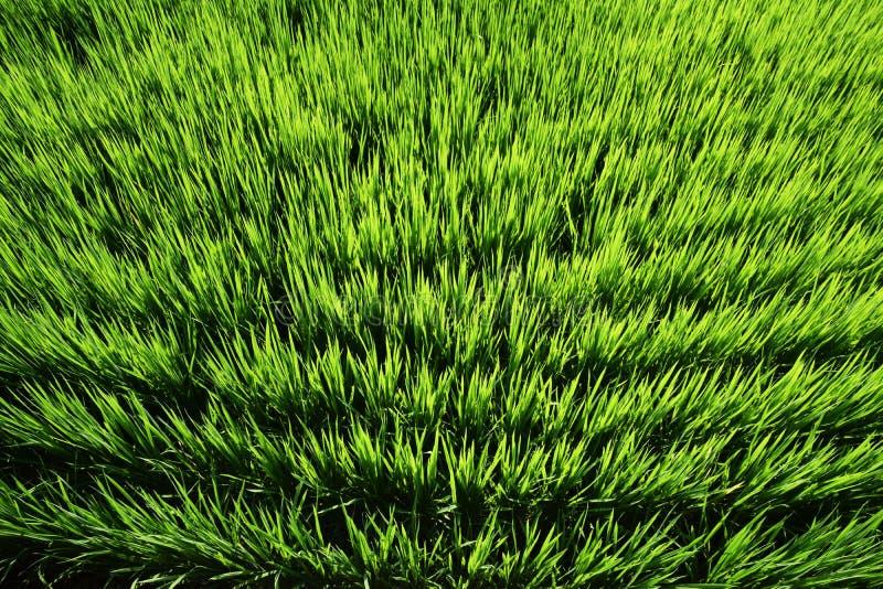 El crecimiento de la planta de arroz foto de archivo