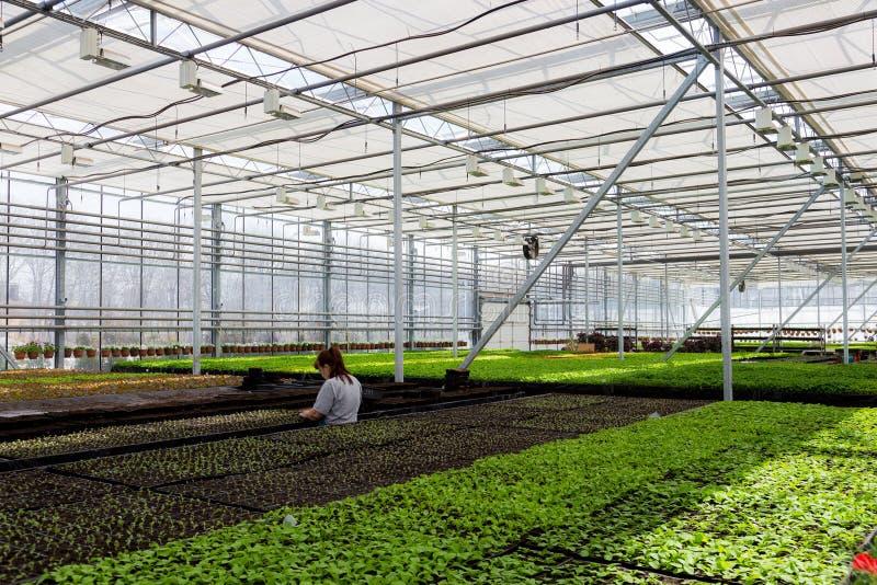 El crecimiento de plantas ornamentales, los arbustos florece para cultivar un huerto en invernadero hidropónico moderno con el si fotografía de archivo libre de regalías