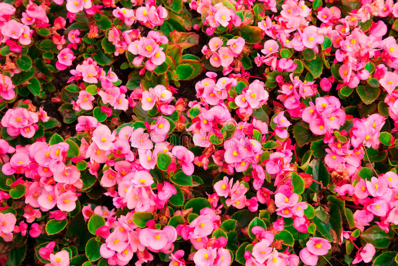 El crecimiento denso de las flores de la begonia foto de archivo libre de regalías