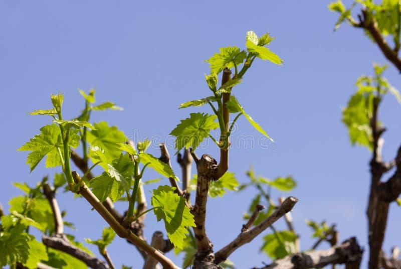 El crecimiento fresco de la vid de uva se va en cultivar un huerto casero foto de archivo libre de regalías
