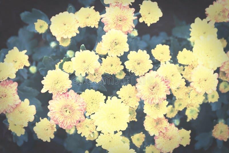 El crisantemo amarillo florece el ramo, estilo entonado oscuro del vintage foto de archivo libre de regalías