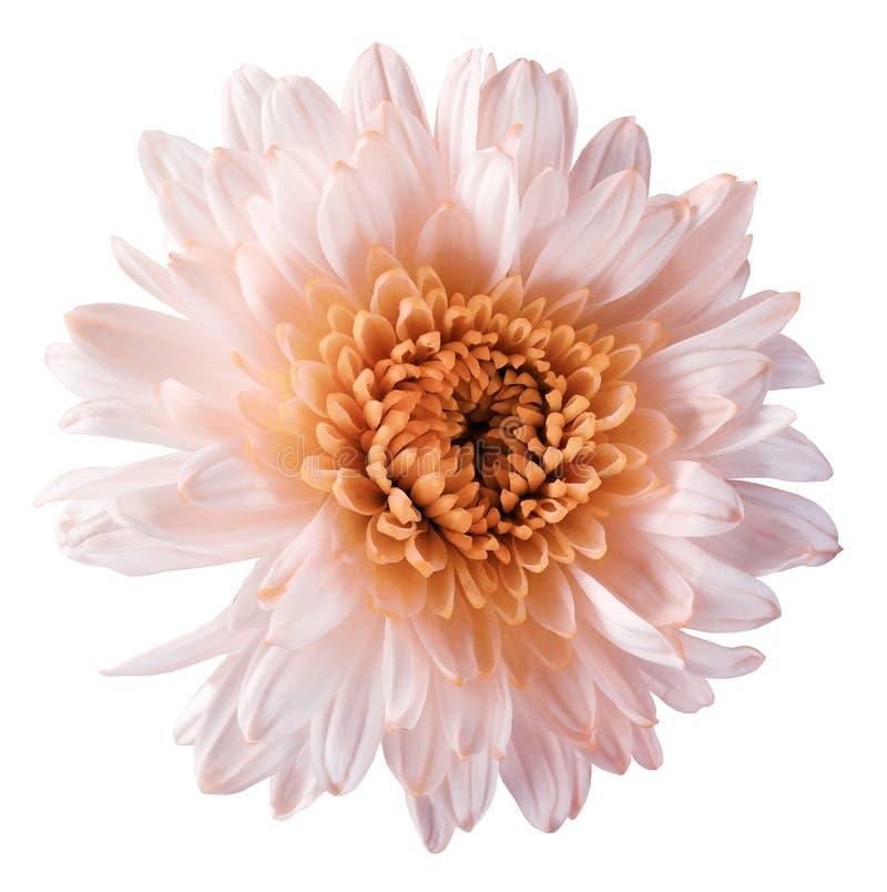 el crisantemo Blanco-anaranjado de la flor, flor del jardín, blanco aisló el fondo con la trayectoria de recortes primer Ningunas imagen de archivo