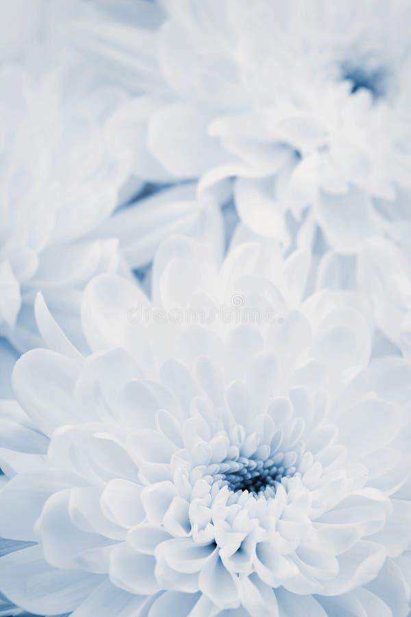 El crisantemo florece para el fondo, textura floral hermosa, tono retro, color azul foto de archivo
