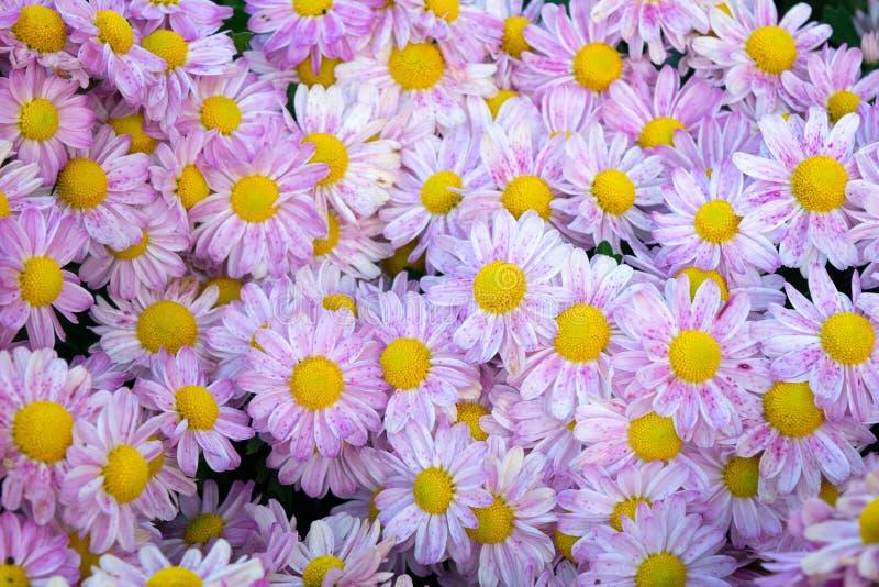 El crisantemo púrpura suave florece el fondo del extracto de la naturaleza fotografía de archivo libre de regalías