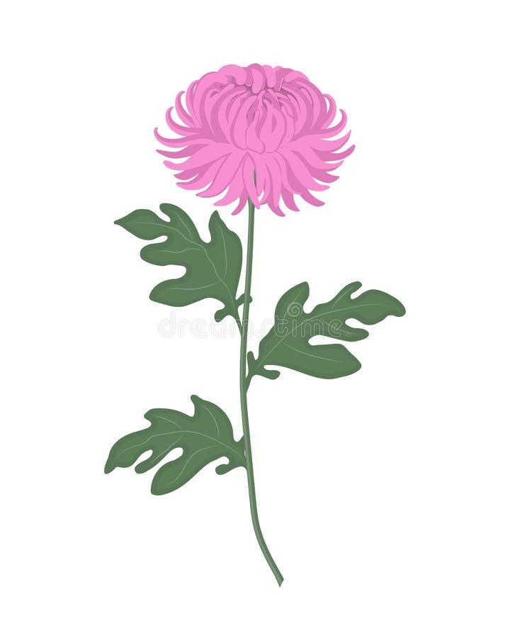 El crisantemo rosado con verde se va en un fondo blanco ilustración del vector