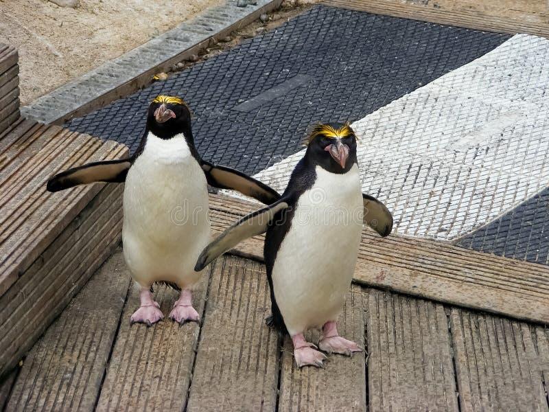 El cruzar de los pingüinos imagenes de archivo