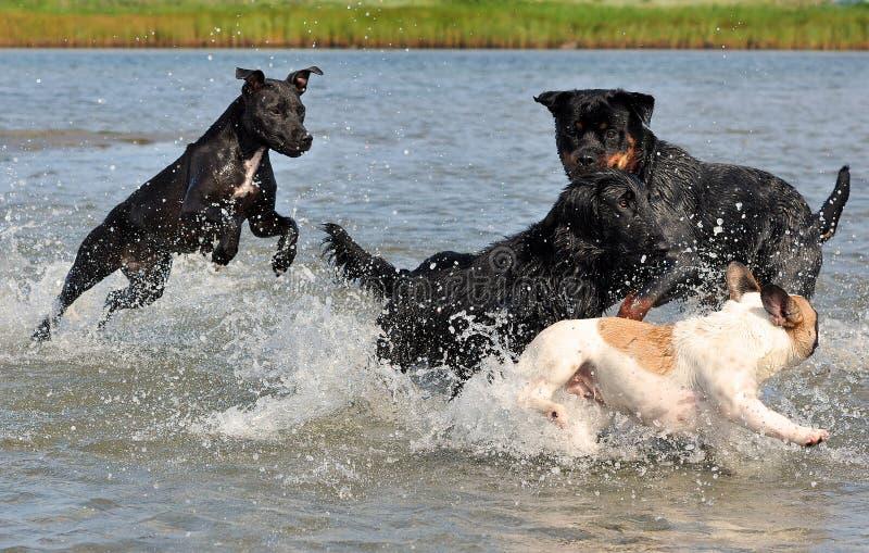 El cuatro luchar y juegos de los perros en el agua fotos de archivo