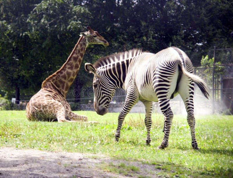 El cuello largo fino del mamífero de África de la cebra de la jirafa manchó el parque zoológico rayado sabana Serengeti de la res foto de archivo libre de regalías