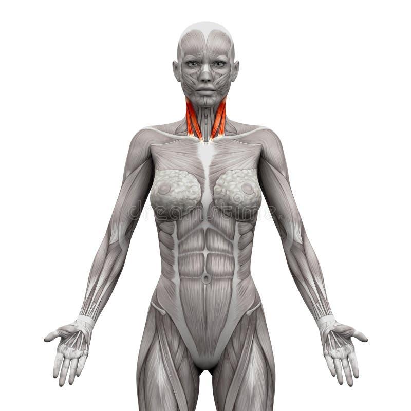 El cuello Muscles - cabeza esternal y cabeza clavicular - el músculo de la anatomía ilustración del vector
