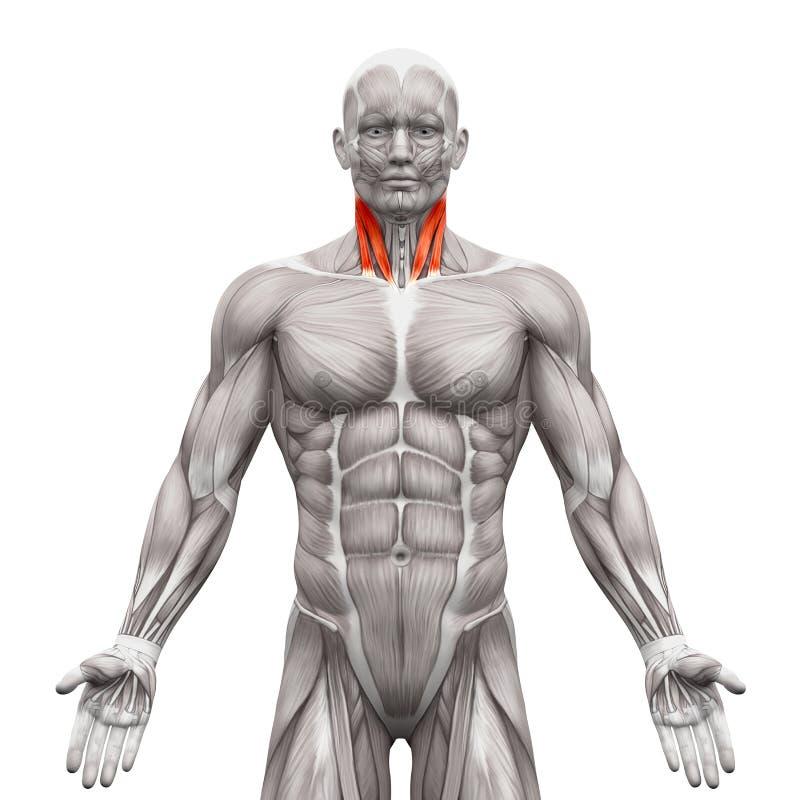 El Cuello Muscles - Cabeza Esternal Y Cabeza Clavicular - El Músculo ...