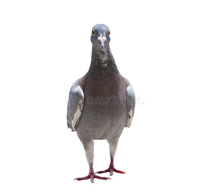 El cuerpo completo del retrato del pájaro de la paloma que competía con de la velocidad aisló los vagos blancos imágenes de archivo libres de regalías