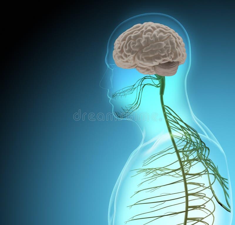 El cuerpo humano (órganos) por las radiografías en fondo azul stock de ilustración