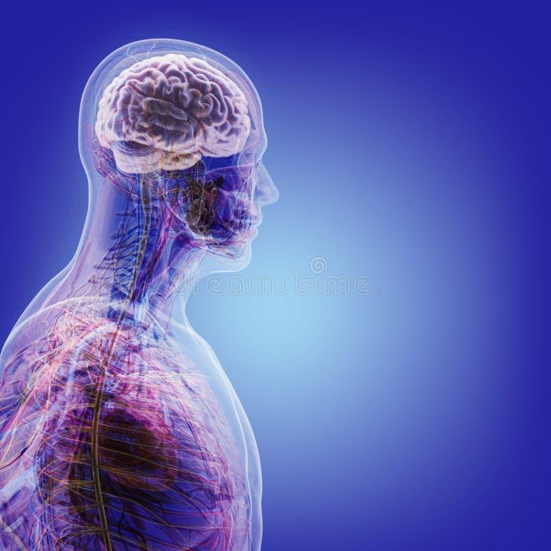 El Cuerpo Humano (órganos) Por Las Radiografías En Fondo Azul Imagen ...