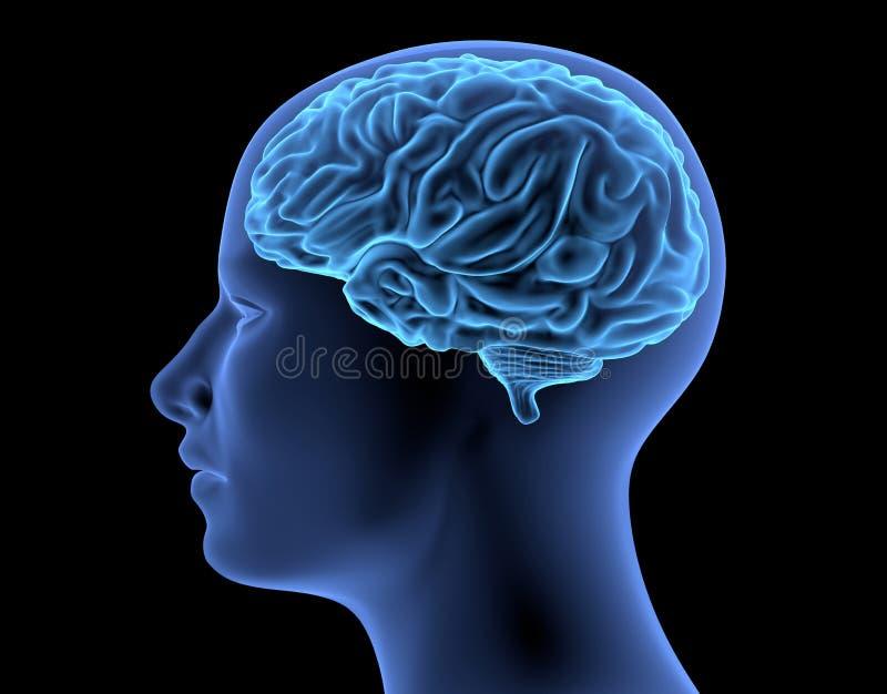 El cuerpo humano - cerebro ilustración del vector