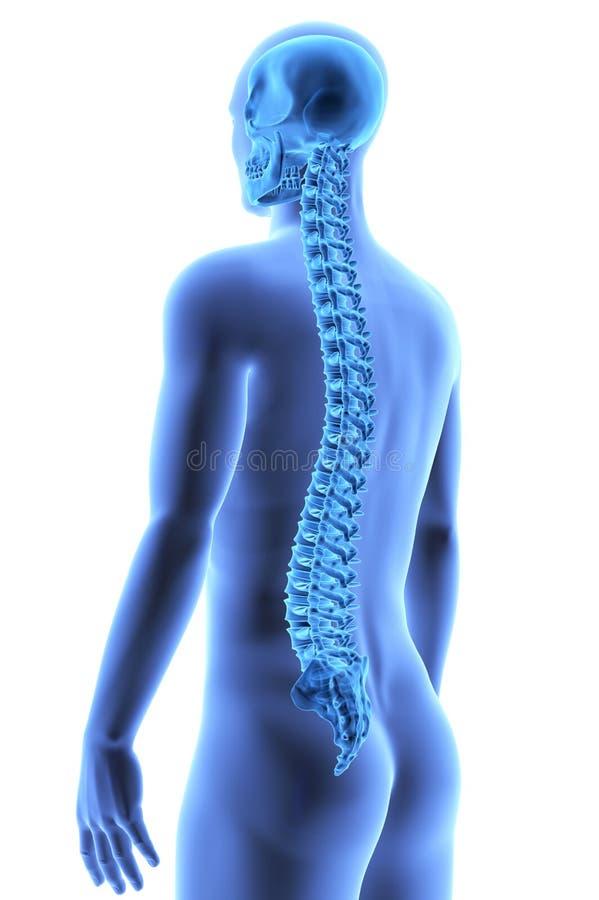 El Cuerpo Humano - Espina Dorsal Stock de ilustración - Ilustración ...