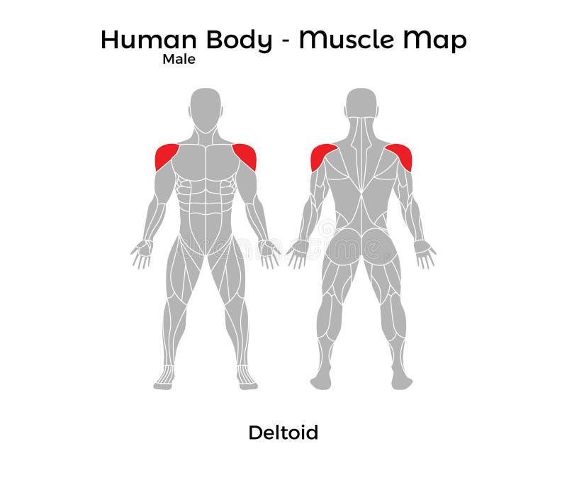 El cuerpo humano masculino - Muscle el mapa, deltoideo ilustración del vector