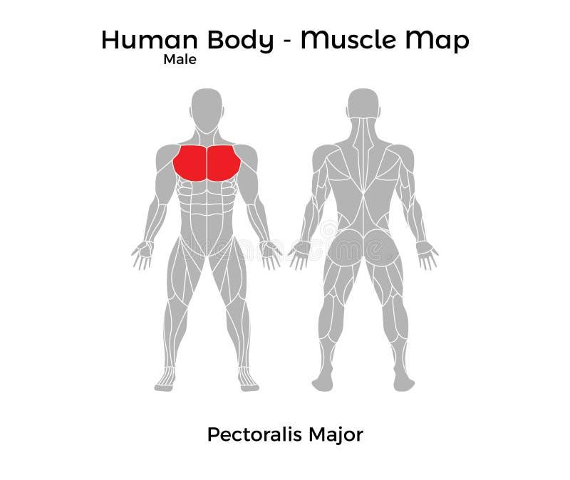 El Cuerpo Humano Masculino - Muscle El Mapa, Músculo Pectoral Mayor ...