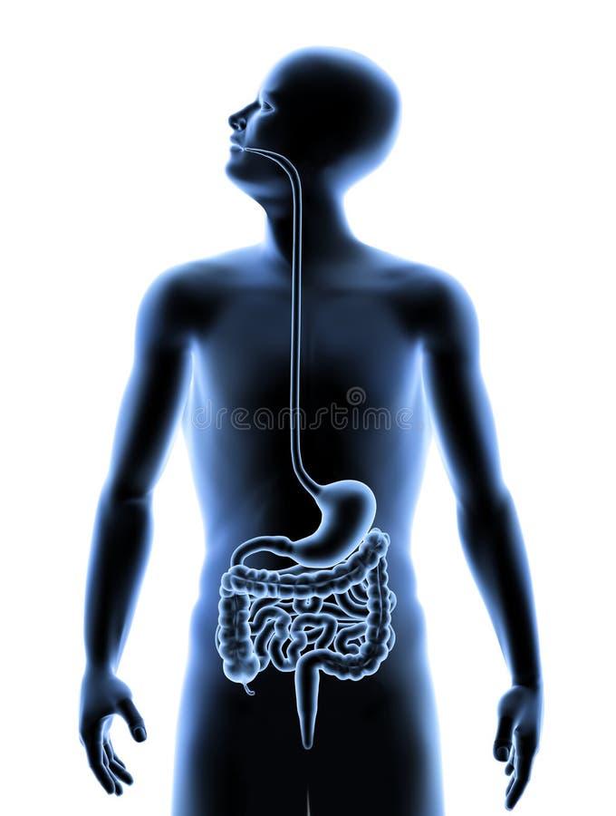 El cuerpo humano - sistema digestivo ilustración del vector