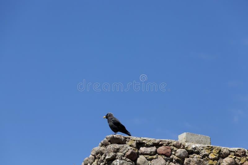 el cuervo adulto se sienta en una cerca fotografía de archivo libre de regalías