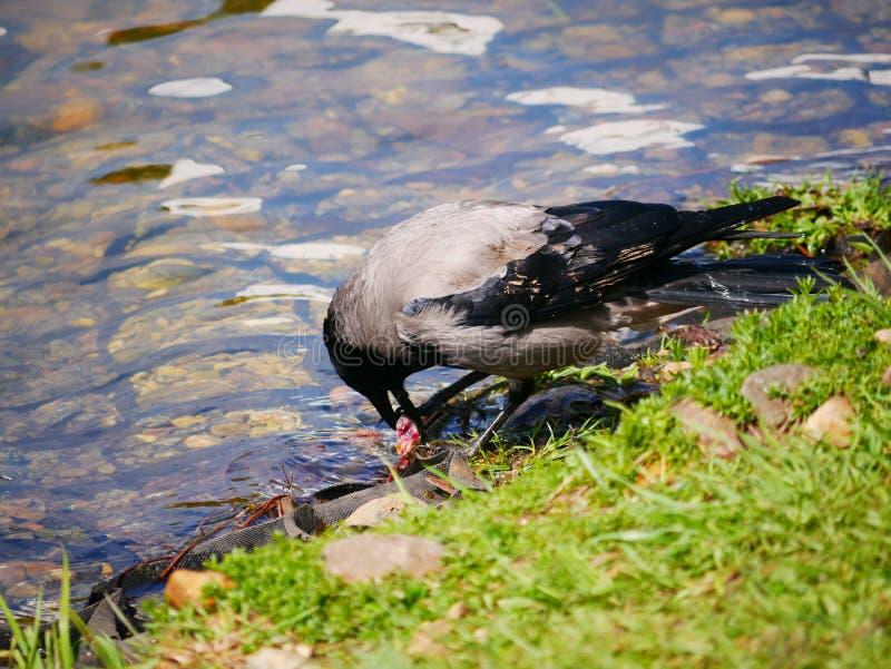El cuervo come los pescados cogidos en la charca del parque de la ciudad En un d?a de verano soleado Las cazas grises del cuervo  fotos de archivo