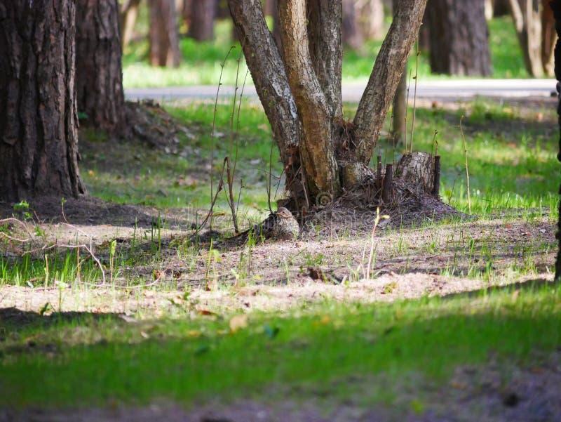 El cuervo come los pescados cogidos en la charca del parque de la ciudad En un d?a de verano soleado Las cazas grises del cuervo  fotos de archivo libres de regalías