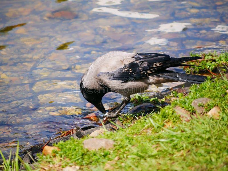 El cuervo come los pescados cogidos en la charca del parque de la ciudad En un d?a de verano soleado Las cazas grises del cuervo  foto de archivo libre de regalías