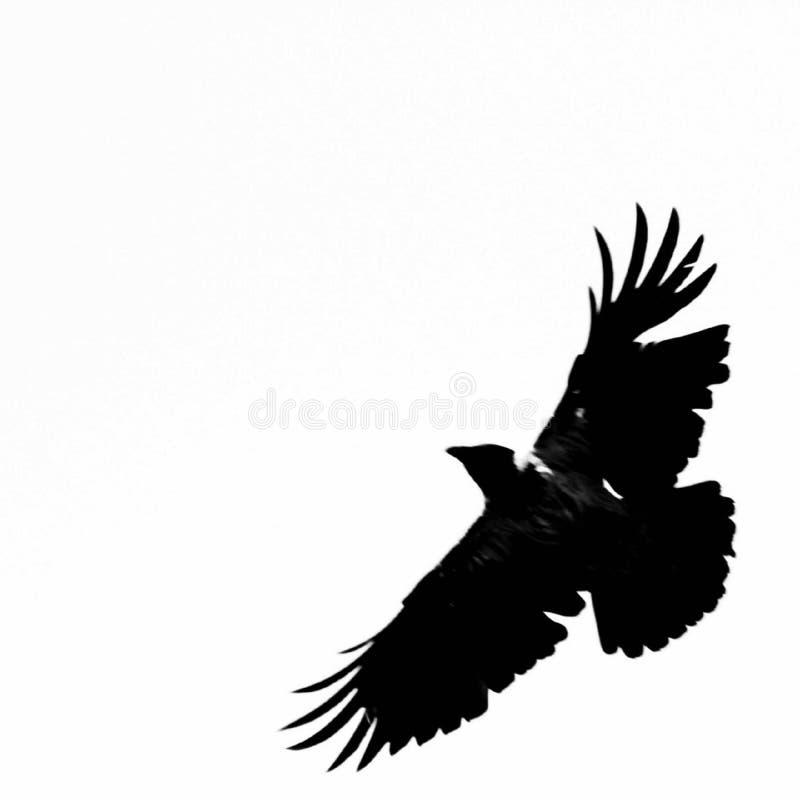 El cuervo del vuelo fotografía de archivo