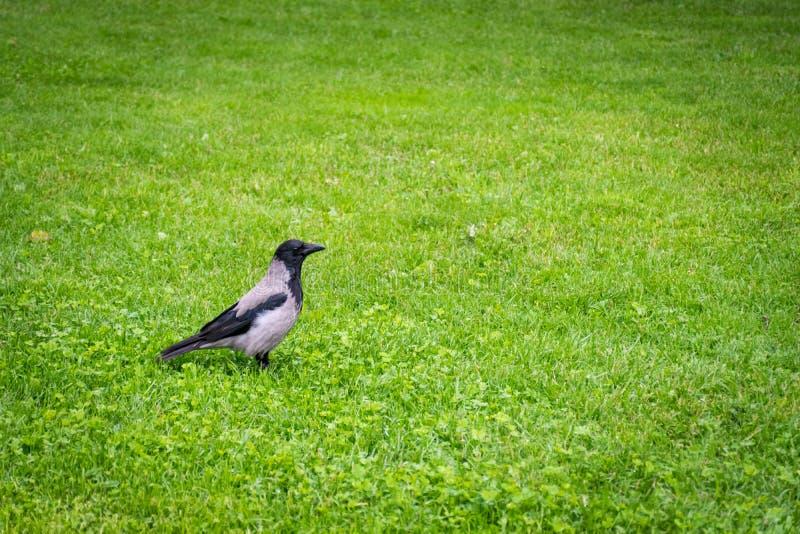 El cuervo se está colocando en la yarda de la hierba imagenes de archivo