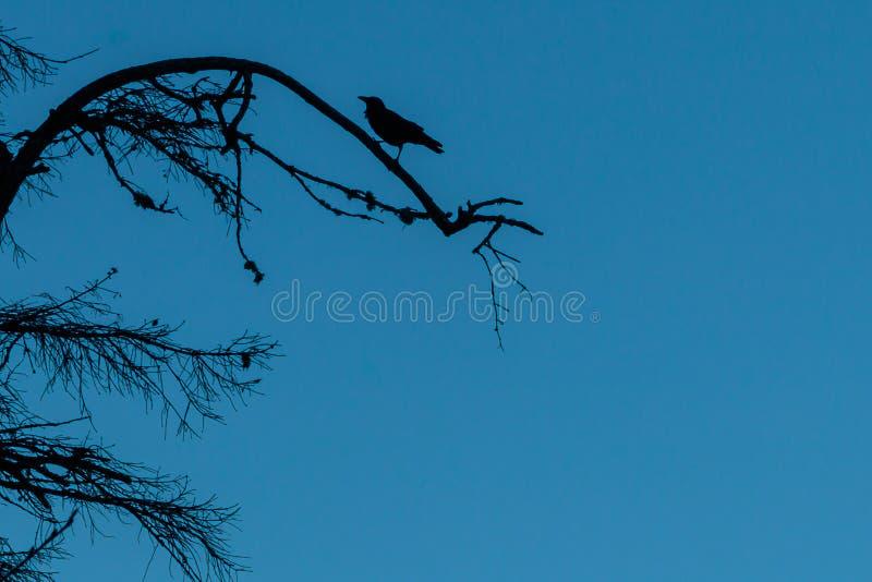El cuervo silhoeted se encaramó en una rama de árbol imagenes de archivo