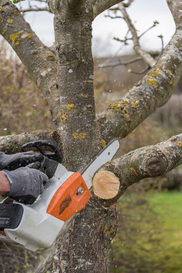 El cultivar un huerto con la motosierra - corte del verano en un árbol frutal imágenes de archivo libres de regalías