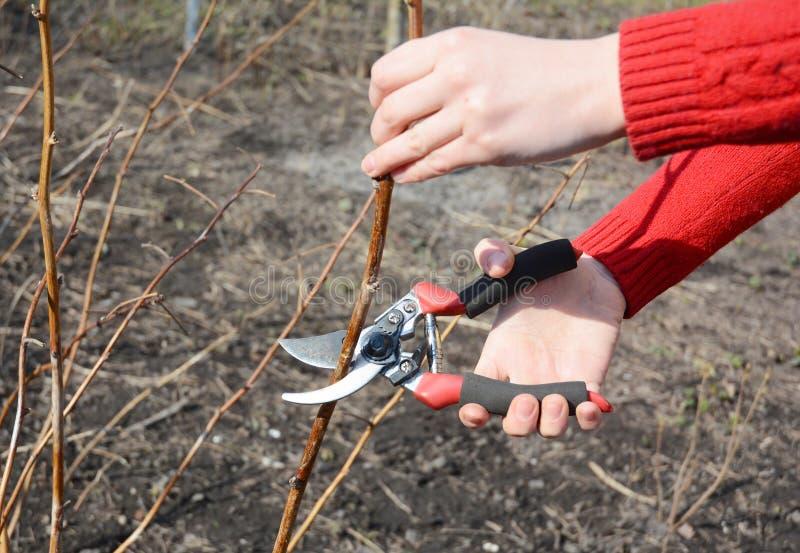 El cultivar un huerto de la primavera Jardinero que corta el arbusto de frambuesa roja con las tijeras de podar de puente en prim imagen de archivo