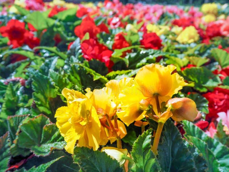 El cultivar un huerto urbano El greening de ciudades Begonias florecientes amarillas y del rojo en la cama de flor Flores del oto imagenes de archivo