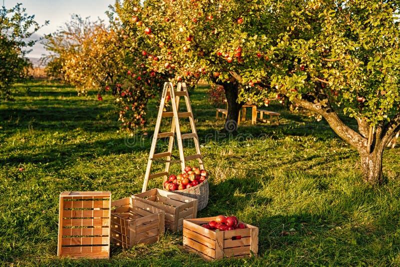 El cultivar un huerto y cosecha Cosechas de la manzana de la ca?da que cosechan en jard?n Manzano con las frutas en ramas y escal fotografía de archivo