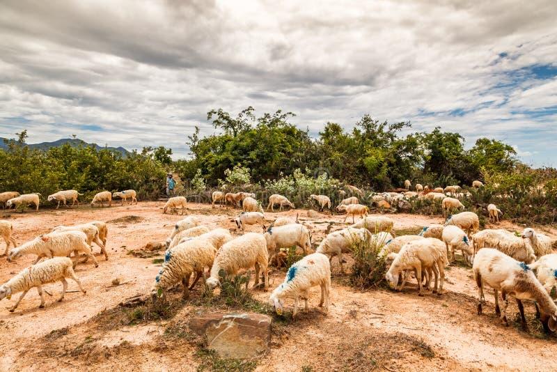 El cultivo de ovejas en Phan sonó, central de Vietnam imagen de archivo