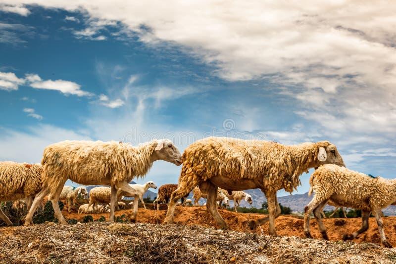 El cultivo de ovejas en Phan sonó, central de Vietnam imágenes de archivo libres de regalías
