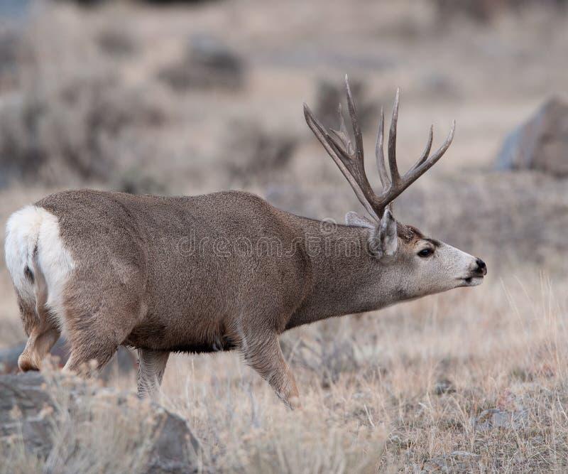 El dólar grande de los ciervos mula coge en olor imagen de archivo
