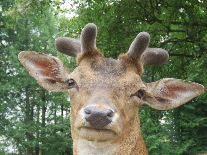 el dama del Dama de los Barbecho-ciervos mira directamente en la lente de cámara foto de archivo
