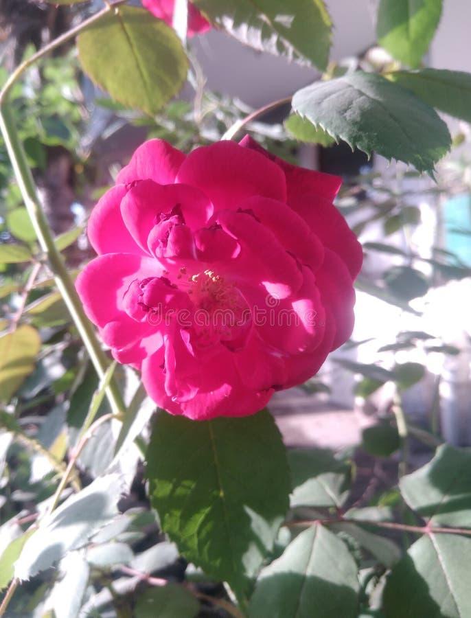 El damasco rojo subió flor en casa de la naturaleza ilustración del vector