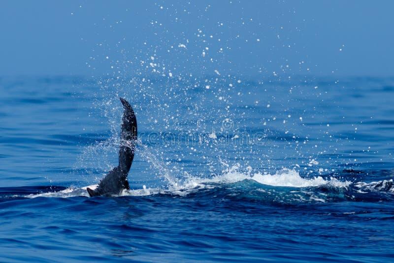El dar una palmada de la cola de la ballena jorobada del bebé fotografía de archivo