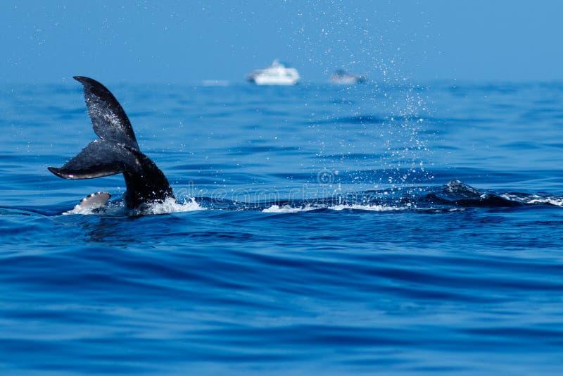 El dar una palmada de la cola de la ballena jorobada del bebé fotografía de archivo libre de regalías