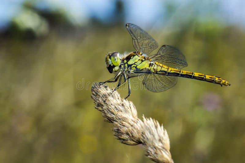 El darter amarillo-con alas (flaveolum de Sympetrum) fotos de archivo libres de regalías
