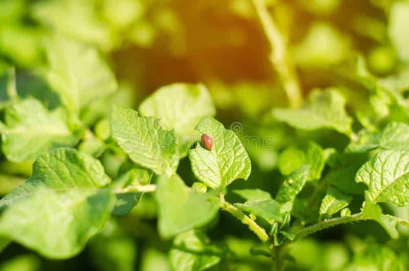 El decemlineata del Leptinotarsa de los escarabajos de patata de Colorado en un primer de patatas parásitos de insecto, enemigo d fotografía de archivo libre de regalías