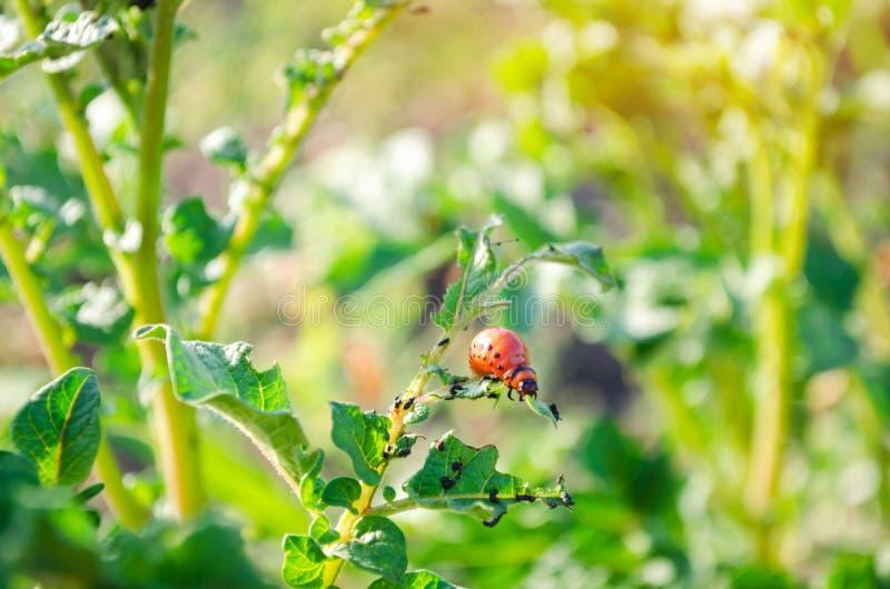 El decemlineata del Leptinotarsa de los escarabajos de patata de Colorado en un primer de patatas parásitos de insecto, enemigo d imagen de archivo libre de regalías