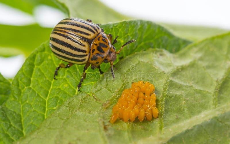 El decemlineata del Leptinotarsa del escarabajo de patata de Colorado fotos de archivo