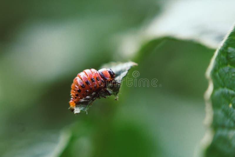 El decemlineata del Leptinotarsa o el escarabajo de la patata se sienta en una hoja de patatas fotos de archivo