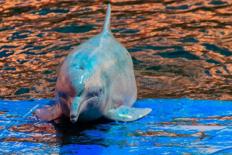 El delfín jorobado Indo-pacífico lindo (Sousa chinensis), o el rosa hace imagenes de archivo